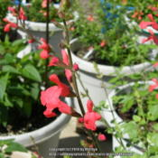Location: My garden in Northern KYDate: 2014-06-05Love this Salvia a lot!