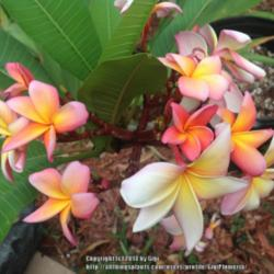 Thumb of 2014-06-08/GigiPlumeria/11854a