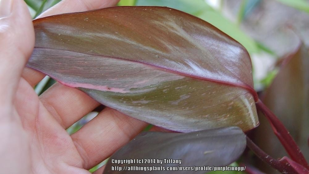 Photo of Blushing Philodendron (Philodendron erubescens 'Pink Princess') uploaded by purpleinopp