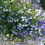 Location: At my brother and sister-in-law's house in Lebanon, OHDate: 2014-05-31Dark blue, light blue and white Lobelia colors in a blu