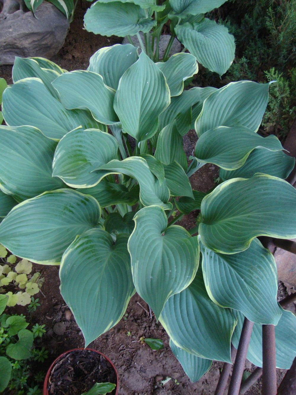 Photo Of The Entire Plant Of Hosta Regal Splendor Posted By