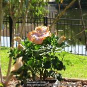 Location: Daytona Beach, FloridaDate: 2014-06-10 Juvenile shrub in a container for the time being ...