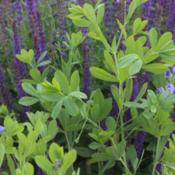 Location: Denver Metro CODate: 2014-06-10Early morning light.  May Night Salvia is backdropped