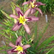 Location: My garden in northeast TexasDate: 2014-06-12Very different from any other daylily in our garden,  can't mista