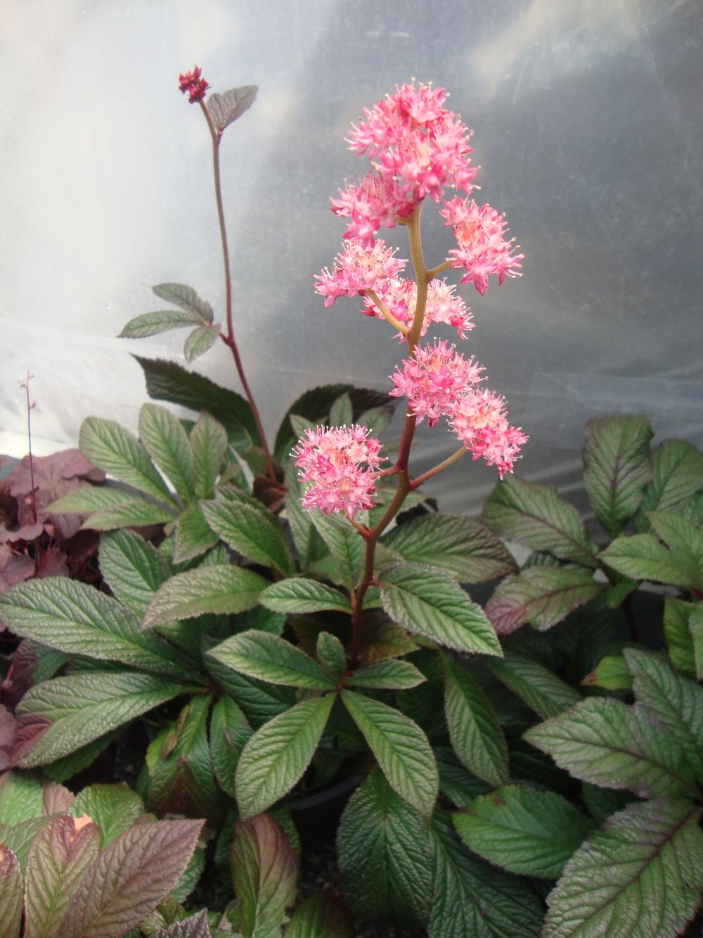 Photo of Rodgersia 'Bronze Peacock' uploaded by Paul2032