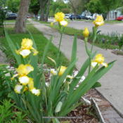 Location: Garland (Dallas), TXDate: 2014-04-20Yellow/White Plicata