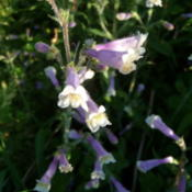 Location: Indiana zone 5Date: 2014-06-12penstemon hirsutus