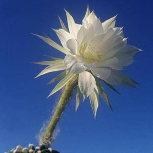This Echinopsis flower opened on June 14, 2014.