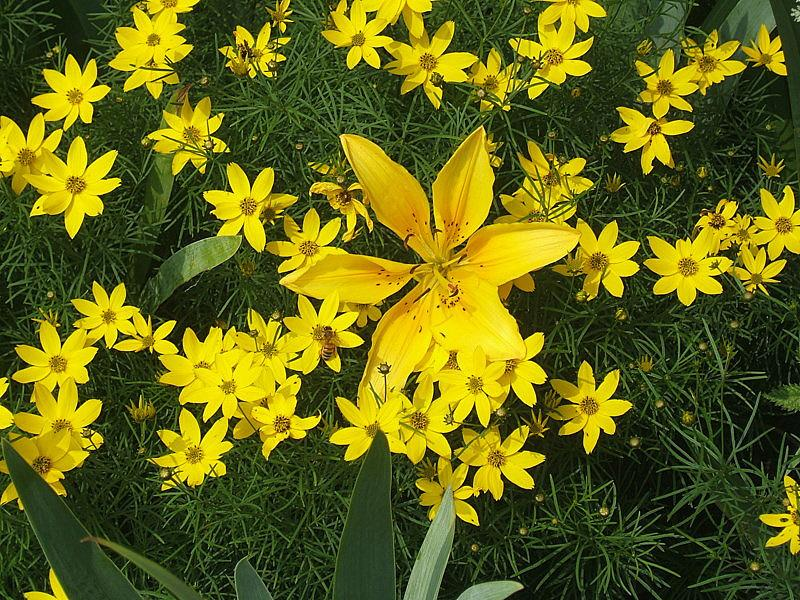 Photo of Threadleaf Coreopsis (Coreopsis verticillata 'Zagreb') uploaded by pirl