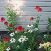 Location: My garden in Southeast VirginiaDate: 2014-06-14Photo taken with Pow Wow White Coneflower.