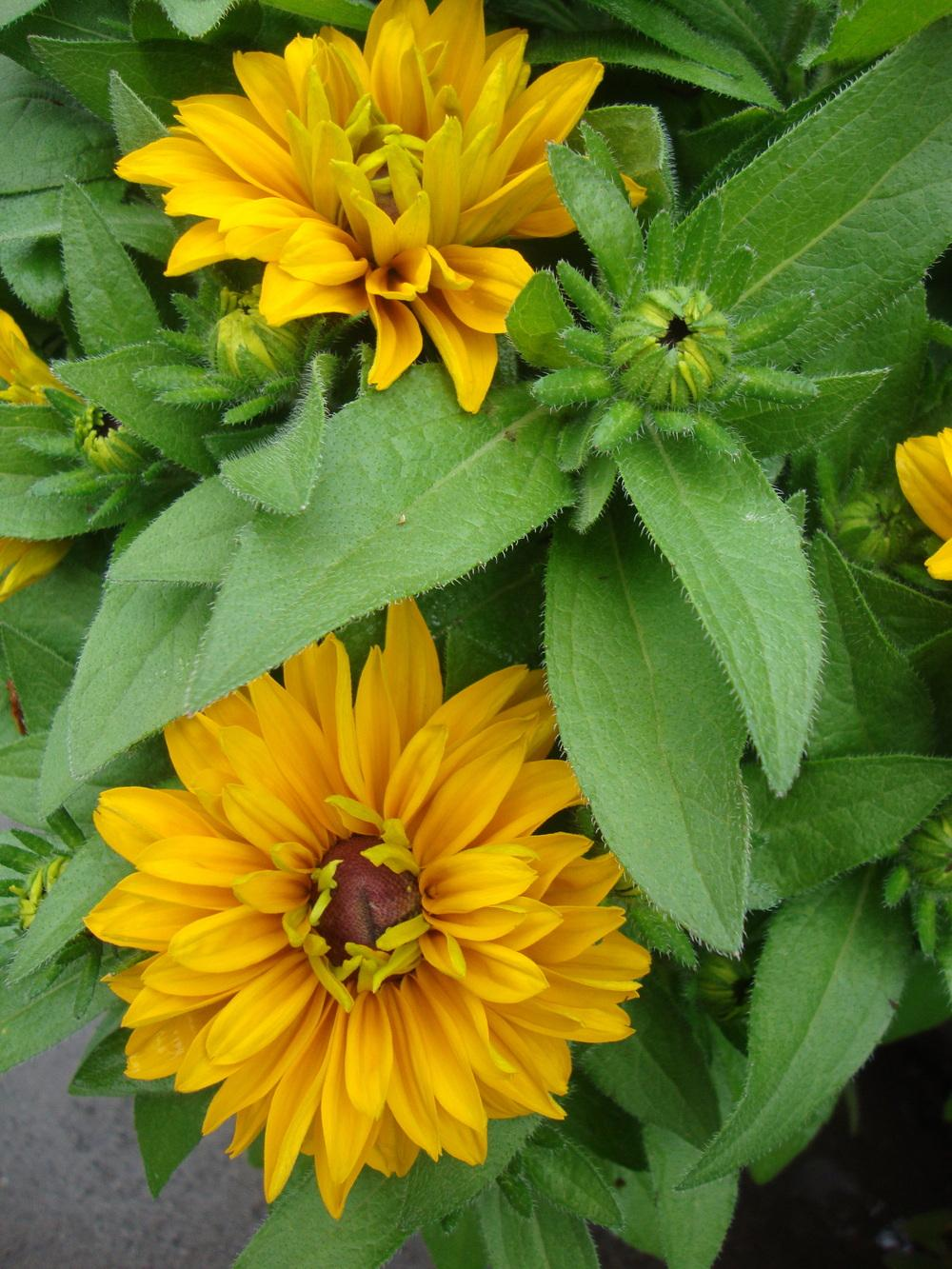 Photo of Black Eyed Susans (Rudbeckia) uploaded by Paul2032