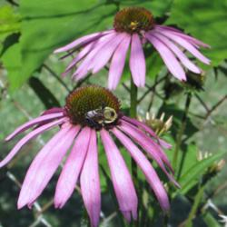 The Tennessee Coneflower: Endangered Species Success Story