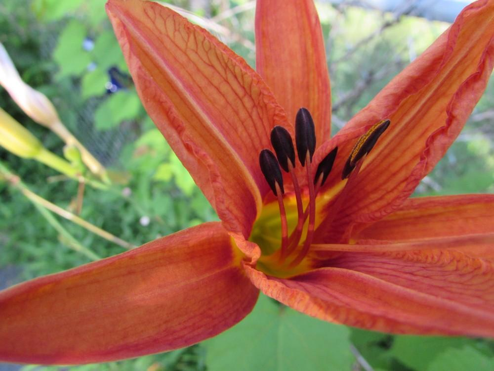 Photo of Ditch Lily (Hemerocallis fulva) uploaded by SongofJoy