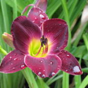 Location: West side of my yardDate: JulyMy absolute favorite daylily; gorgeous color, fragrant,