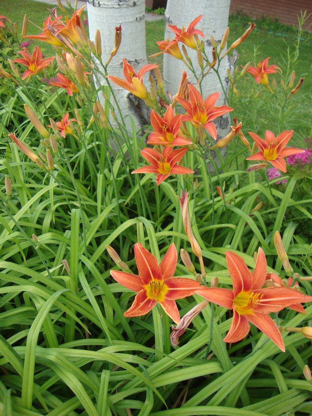 Photo of Ditch Lily (Hemerocallis fulva) uploaded by Paul2032