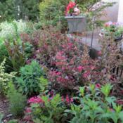 Location: Front gardenDate: JuneBeautiful in bloom, lovely foliage when not in bloom