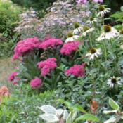 Location: Front gardenDate: 2013-09-07Super bright pink