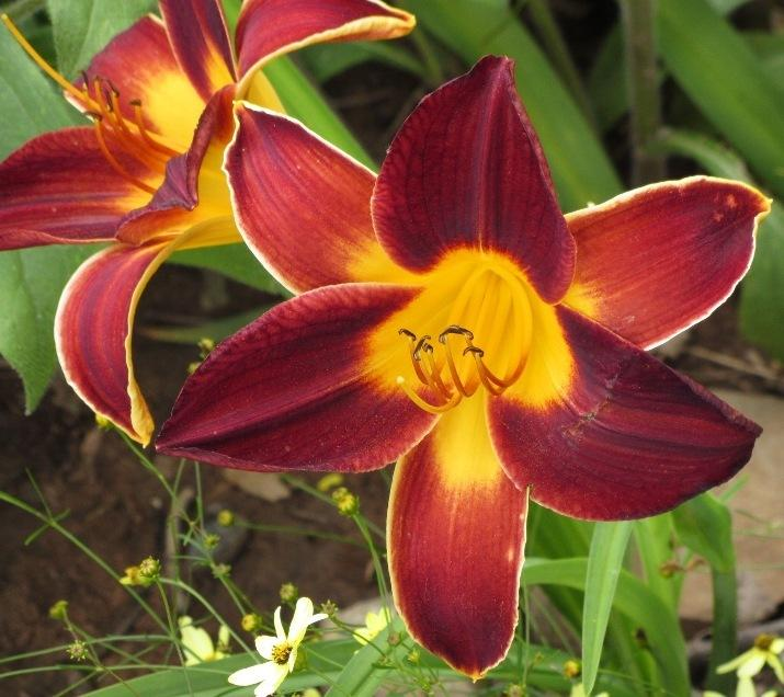 Photo of Daylily (Hemerocallis 'Hermitage Newton') uploaded by Bloombuddie