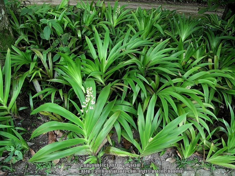 Plant id forum white flowering tropical plant garden thumb of 2014 06 18bonitinc1828d mightylinksfo