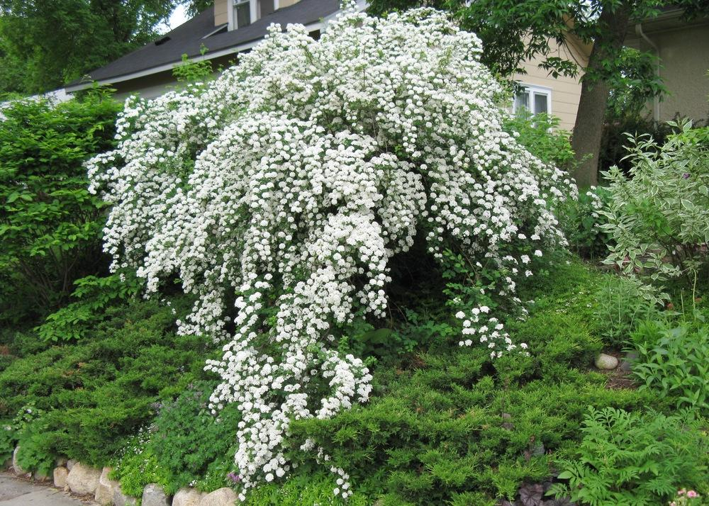 Spiraeas plant care and collection of varieties for Easy to care for outdoor flowering plants