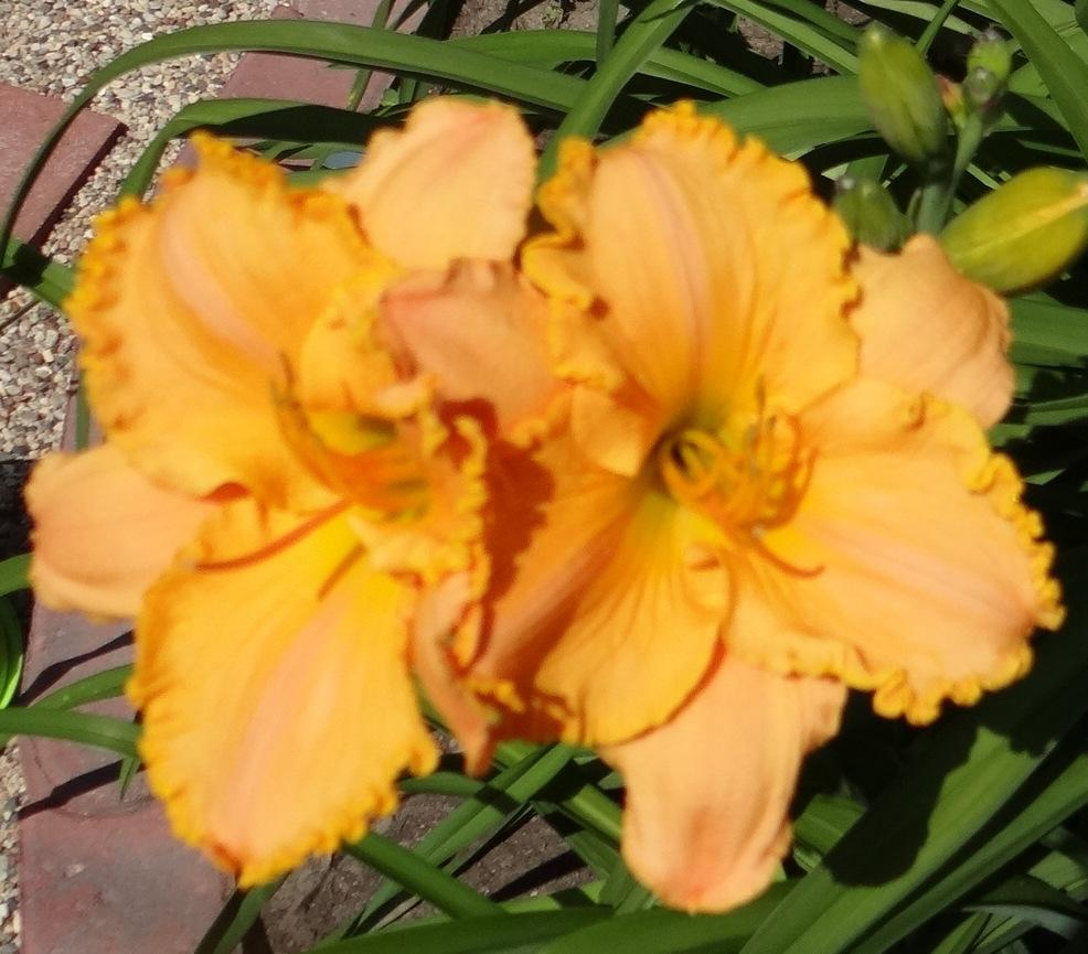 Photo of Daylily (Hemerocallis 'Pure and Simple') uploaded by stilldew