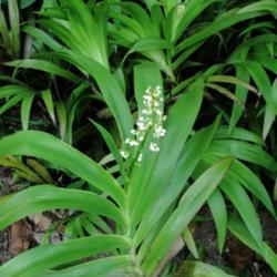 Plant id forum white flowering tropical plant garden image mightylinksfo