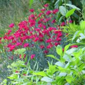Location: Front gardenDate: 2013-07-16Bright blooming machine - great border plant