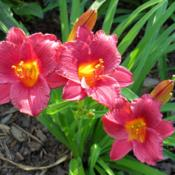 Location: Front gardenDate: 2013-07-15Nice smaller daylily