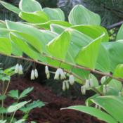 Location: East borderDate: JuneA graceful, lovely shade plant