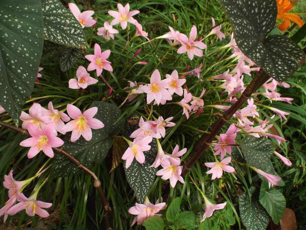 Rain Lilies Plant Care And Collection Of Varieties Garden Org