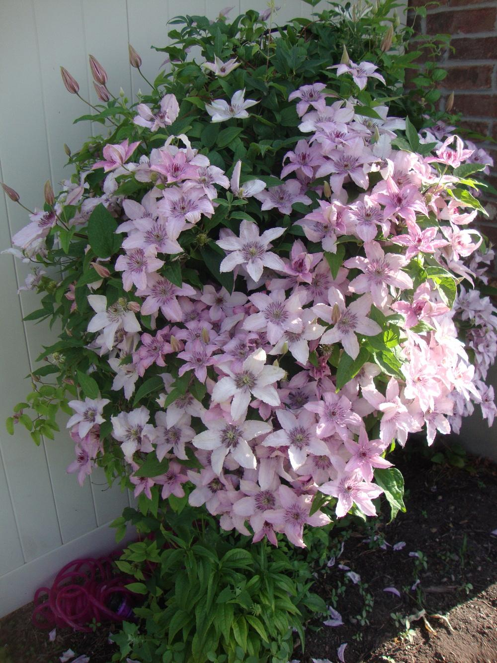 photo of the entire plant of clematis 39 pink fantasy. Black Bedroom Furniture Sets. Home Design Ideas