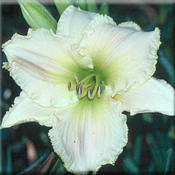 Photo Courtesy of Marietta Daylily Gardens. Used with Permission.