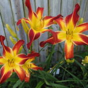 Location: Middletown, MarylandDate: 2013-07-14This daylily was named after me by my cousin Jack