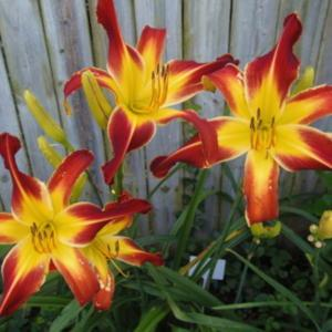 This daylily was named after me by my cousin Jack