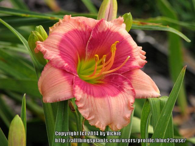 Photo of Daylily (Hemerocallis 'Dragons Eye') uploaded by blue23rose