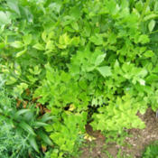 Location: Herb area - full sunDate: 2014-06-17The fresh, new, green leaves are nice in place of celery in salad