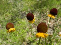 Thumb of 2014-06-21/wildflowers/52d294