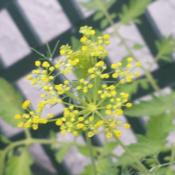 Location: South FloridaDate: 2014-06-21I love using dill in my kitchen. This plant is also host to the e