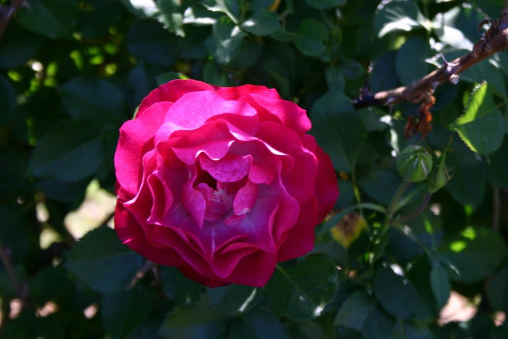 Photo of Rose (Rosa 'Wild Blue Yonder') uploaded by jon