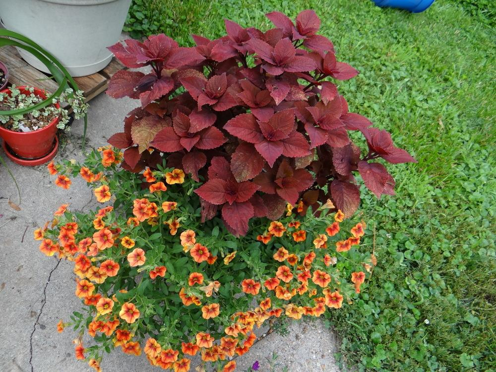 Photo of Coleus (Coleus scutellarioides ColorBlaze® Keystone Kopper™) uploaded by stilldew