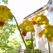Location: In my garden - San Joaquin County, CADate: 2014-06-22Blooms of Sarracenia psittacina
