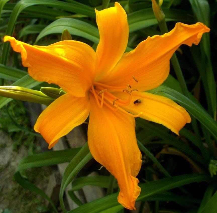 Photo of Daylily (Hemerocallis 'Jersey Spider') uploaded by Heart2Heart