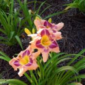 Location: homeDate: 2014-06-254 month old plant from Dan Hansen at Ladybug Daylilies