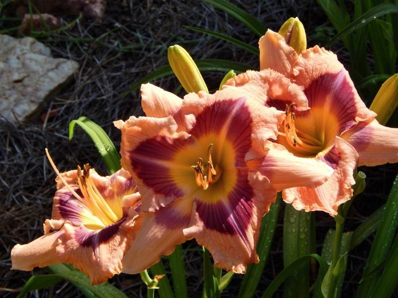 Photo of Daylily (Hemerocallis 'Tully Mars') uploaded by SheilaC