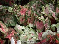 Thumb of 2014-06-25/caladiums4less/b3d497