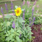 Location: Milk & Honey MeadowsDate: 2014-06-25Love this salvia with Sun Flowers and Horse Mint!!
