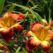 Location: homeDate: 2014-06-21I love this daylily.  One of the best!
