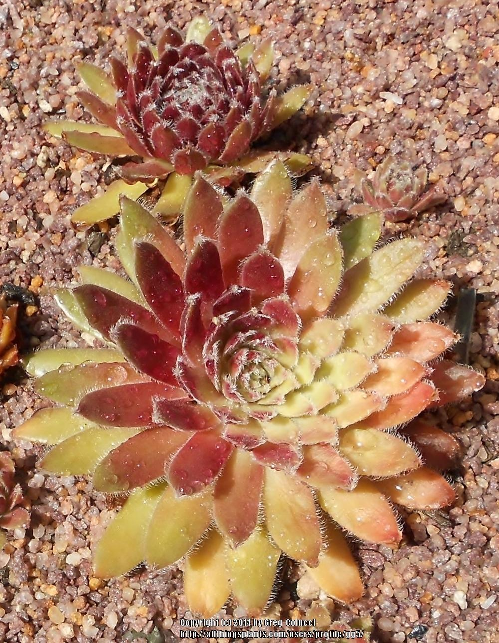 Photo of Hen and Chicks (Sempervivum 'Pacific Sparkler') uploaded by gg5