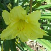 Location: Sherwood, ArkansasDate: 2013-08-01This was with some Stella D'Oro daylilies given to me.