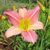 Location: In my garden in Lenore, IDDate: 6-27-14Love the color of this daylily!